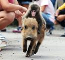 Wednesday Weirdness……Baby Monkey riding backwards on apig!